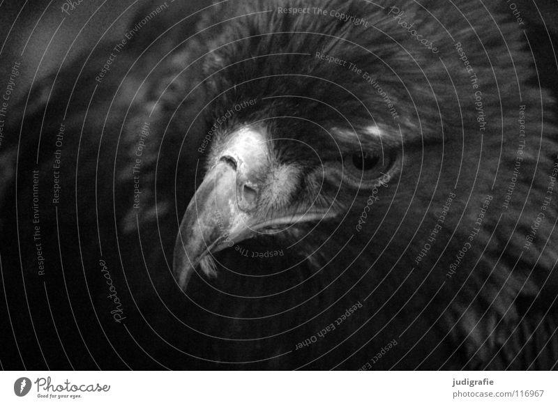 Adler Vogel Greifvogel Schnabel Feder Ornithologie Tier schön schwarz weiß Schwarzweißfoto steppenadler Stolz Blick