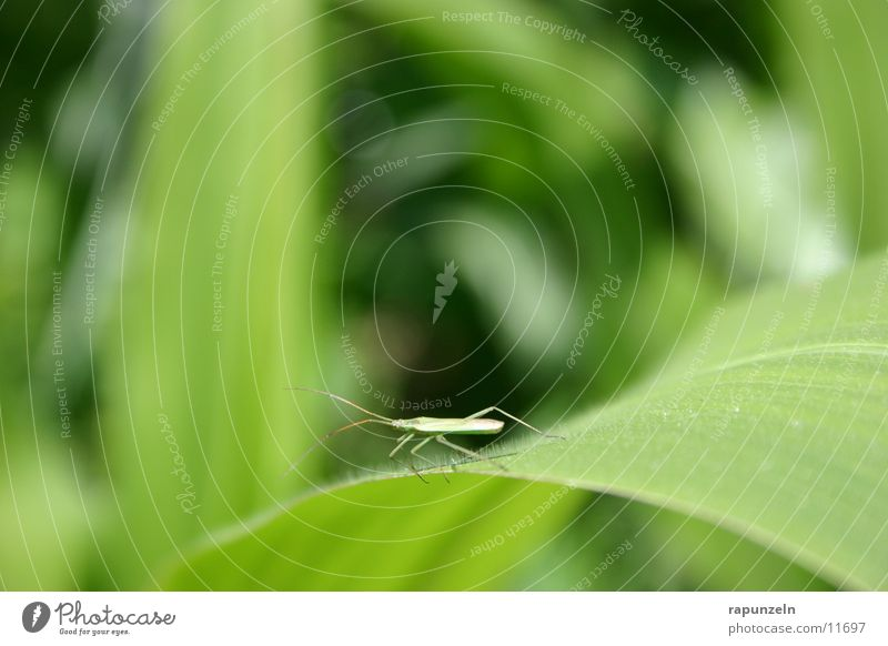 Kleintier Natur Blatt Feld Insekt Mais
