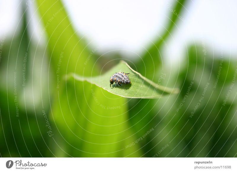 Kleintier ohne Namen Natur Blatt Feld Insekt Käfer Mais Larve