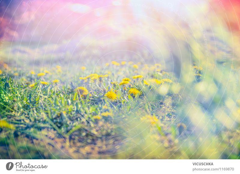Morgen Sonne auf dem Löwenzahn Feld Natur Pflanze Sommer Blume Landschaft Freude Umwelt gelb Frühling Wiese Stil Garten Stimmung Erde Park