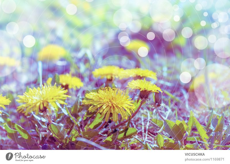 Löwenzahn in Morgenlicht Lifestyle Stil Design Sommer Garten Umwelt Natur Pflanze Sonnenlicht Frühling Schönes Wetter Blume Blüte Park Wiese retro gelb
