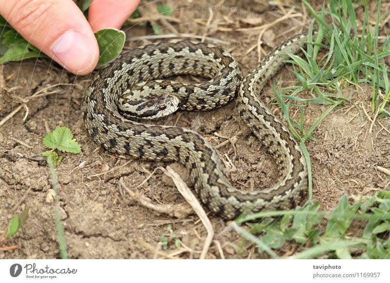 riskante Hand Annäherung an eine giftige Viper Haut Leben Mensch Mann Erwachsene Finger Tier Wiese Schlange wild Angst gefährlich Farbe Risiko risikoreich