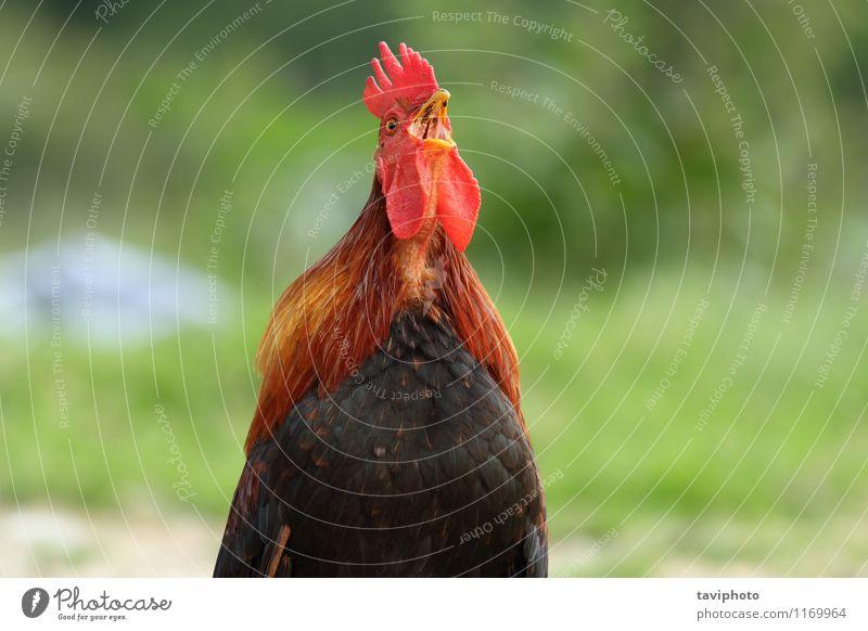Hahn singend am Morgen schön Uhr Mann Erwachsene Natur Tier Vogel stehen natürlich braun grün rot schwarz Stolz Hintergrund wecken Bauernhof Kamm Ackerbau Feder