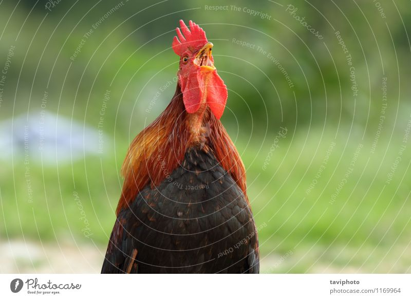 Natur Mann schön grün rot Tier schwarz Erwachsene natürlich braun Vogel Uhr stehen Feder Bauernhof Ackerbau