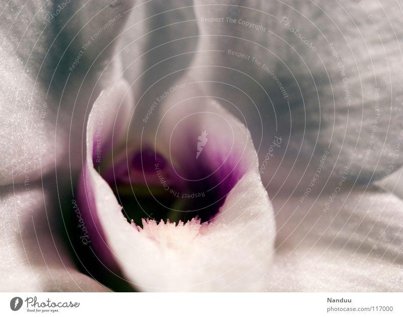 Sag Aaaaahhhhh Natur weiß schön Blume Blüte rosa offen außergewöhnlich Dekoration & Verzierung Vergänglichkeit violett Blühend Eingang Duft Geruch edel