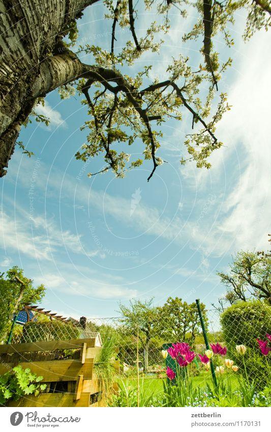 Garten Frühling klein Schrebergarten Kleingartenkolonie Baum Baumstamm Ast Kirschbaum Kompost Blume Blüte Tulpe Nachbar Himmel Wolken Textfreiraum Wiese Rasen