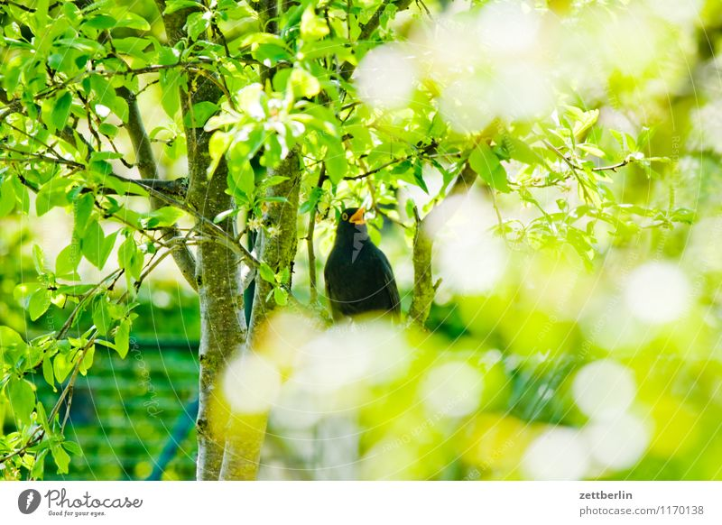 Turdus merula Amsel schwarzdrossel Drossel Vogel Singvögel Zugvogel Geflügel Schnabel Feder Frühling Garten klein Schrebergarten Sträucher Ast Zweig grün Natur