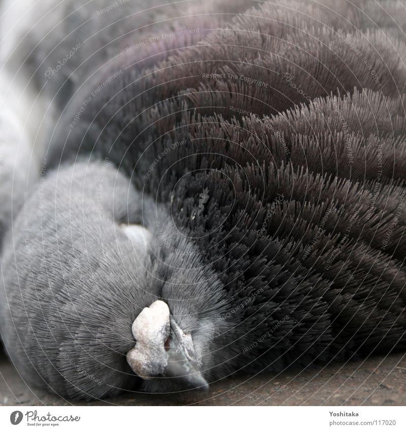Mittagsschlaf schön ruhig Tier Straße Leben Tod Vogel Bodenbelag Feder Vergänglichkeit Frieden Taube Schnabel friedlich