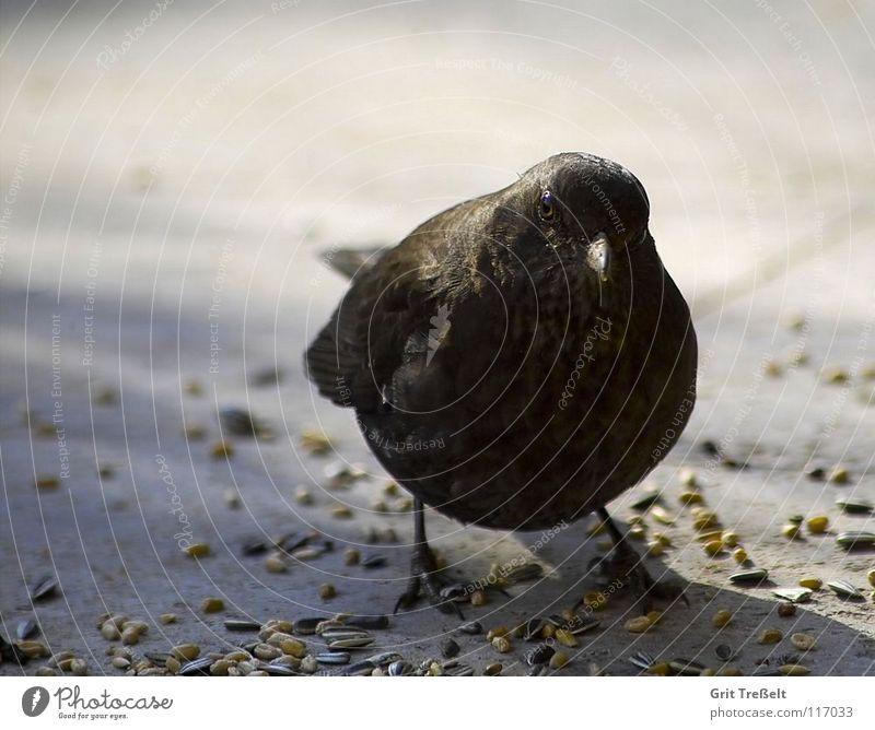Amsel Sommer Beine Vogel Feder Schnabel Tier