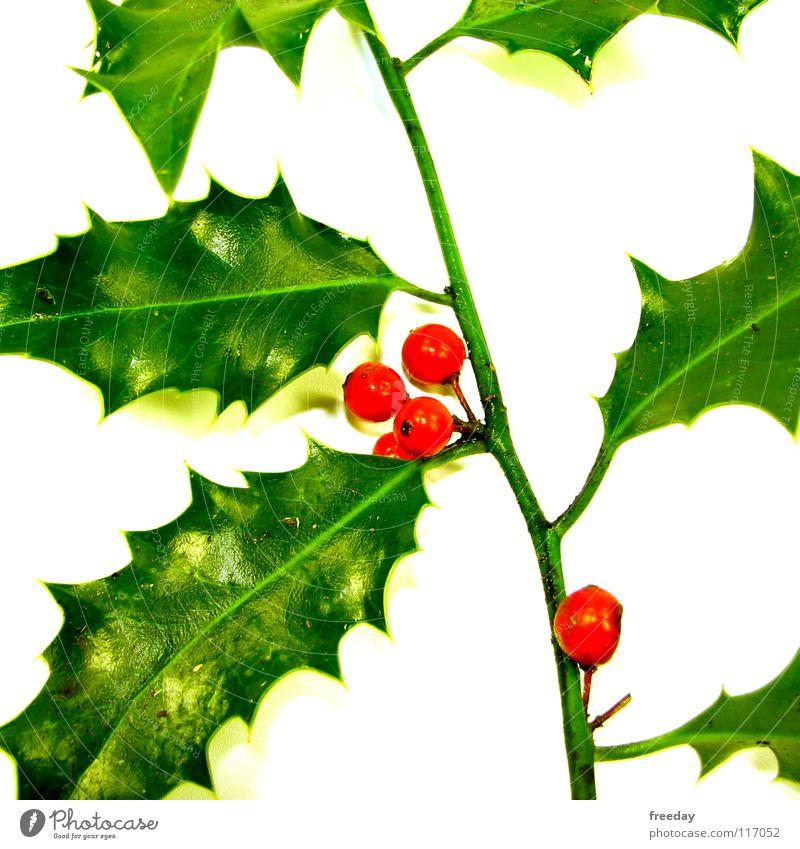 ::: Ilex ::: Dreieck Blatt grün stachelig Licht Baum Photosynthese Umwelt Götter Muster hellgrün Zickzack Sträucher Dorn lässig Gelassenheit 4 rot rund