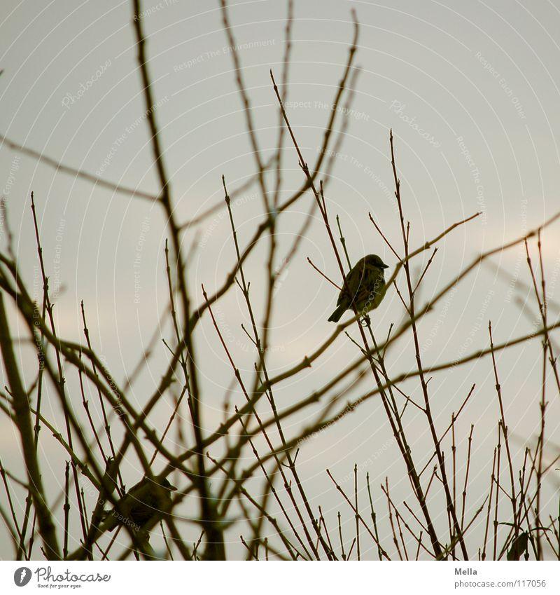 Spatzenwinter II Vogel klein 2 Zusammensein Ehe Baum Sträucher trist leer laublos Blatt fehlen kalt Einsamkeit grau Farblosigkeit Silberstreif Horizont Wunsch