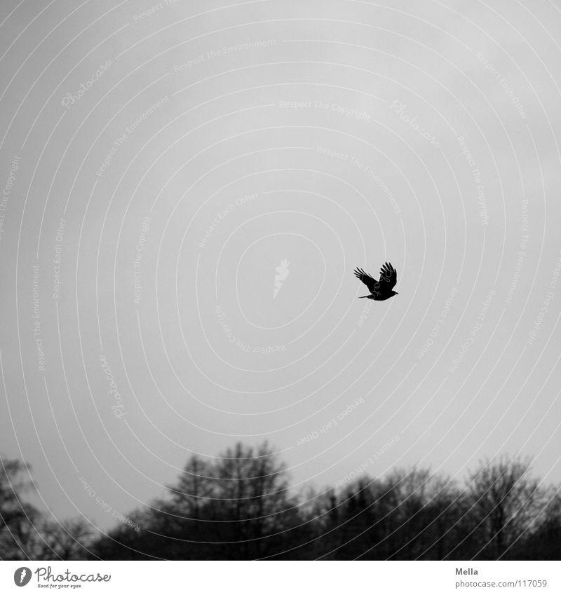The Rising Vogel Krähe Rabenvögel Aaskrähe Einsamkeit hoch aufsteigen oben Wolken Baum Wald Winter laublos Blatt fehlen Trauer fliegen Luft atmen