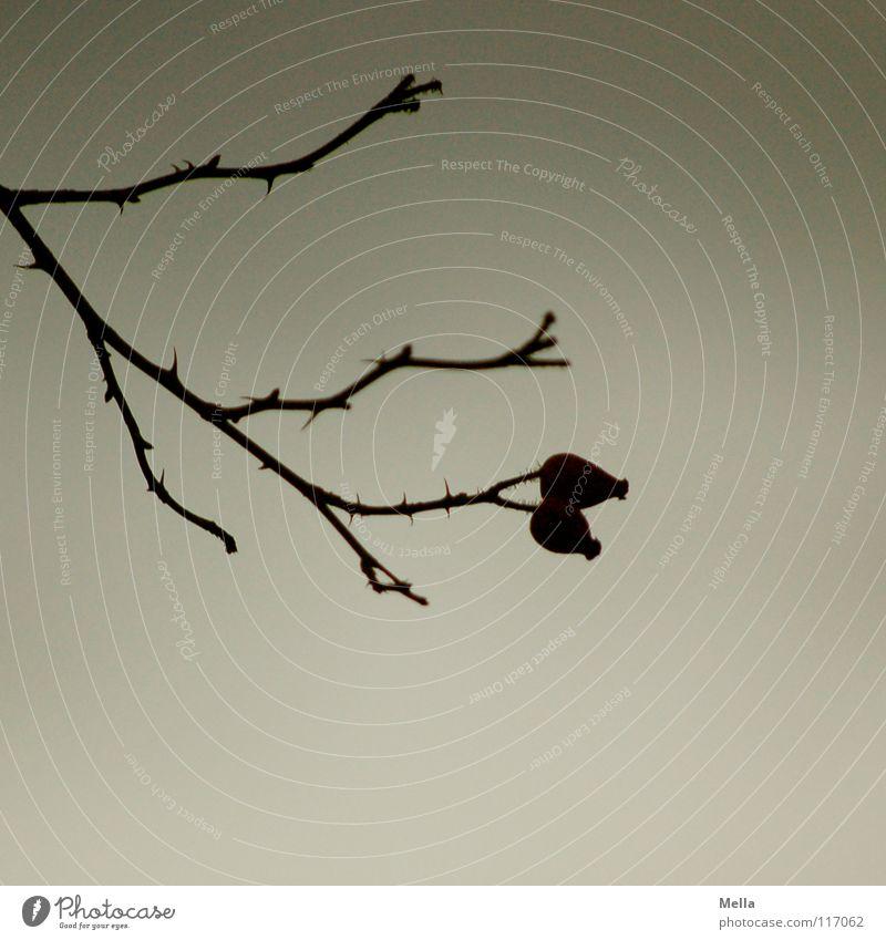 Doppel Himmel Pflanze Wolken kalt Tod Blüte grau Regen 2 Zusammensein Tierpaar Rose Trauer paarweise trist Sträucher