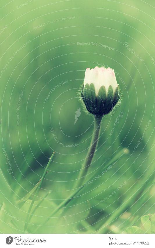 Blümsche Natur Pflanze Frühling Blume Gras Blüte Gänseblümchen Garten Wiese Wachstum grün weiß Farbfoto Gedeckte Farben Außenaufnahme Nahaufnahme Makroaufnahme
