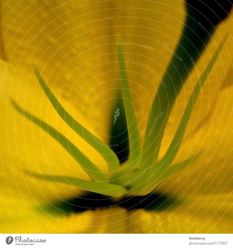 point of view II Blume Blüte gelb Blütenblatt Botanik Sommer Frühling frisch Wachstum Pflanze Makroaufnahme Nahaufnahme flower Detailaufnahme Stempel Natur