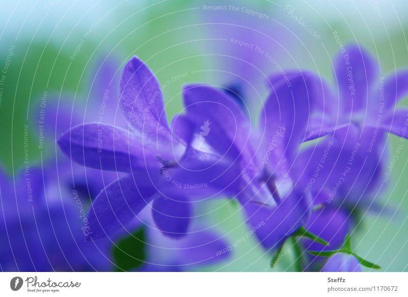 Campanula Natur Pflanze Sommer Blume Blüte Glockenblume Blütenblatt Blütenpflanze Blühend blau grün violett Unschärfe Eindruck Farbfoto Menschenleer Tag