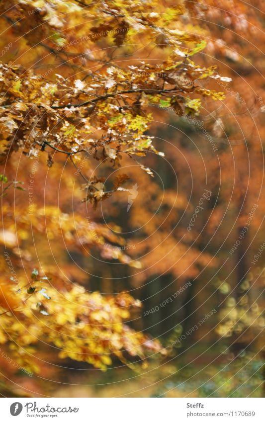 herbstliche Impression Herbstwald Waldbaden Herbstlaub Herbstfärbung Oktober goldener Oktober heimisch malerisch poetisch unbestimmt ruhig warme Farben