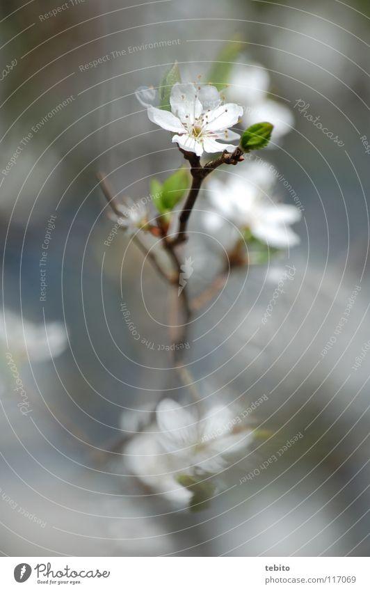 Frühlingsbote Natur Blume Pflanze Blüte aufwachen Blütenblatt Staubfäden Nektar