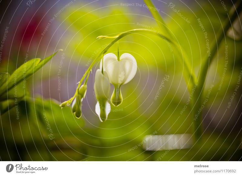 Tränende Herzen Natur Pflanze schön grün weiß Erholung Blume rot Blatt Liebe Blüte Frühling Gefühle Stil Garten leuchten
