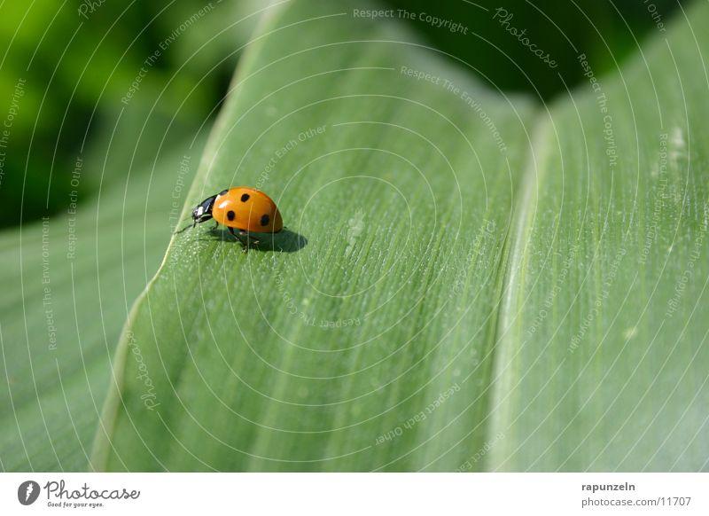 Käfer Blatt Feld grün Marienkäfer Insekt Mais