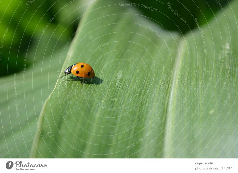 Käfer grün Blatt Feld Insekt Marienkäfer Mais