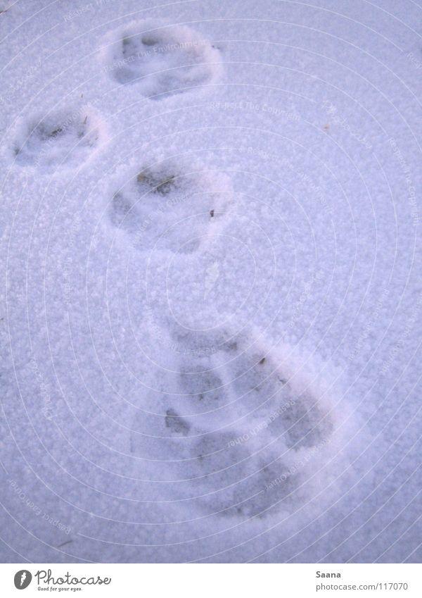Vorwärts im Schnee Hund Winter Tier Spuren Pfote weiß Katze kalt Säugetier schreiten