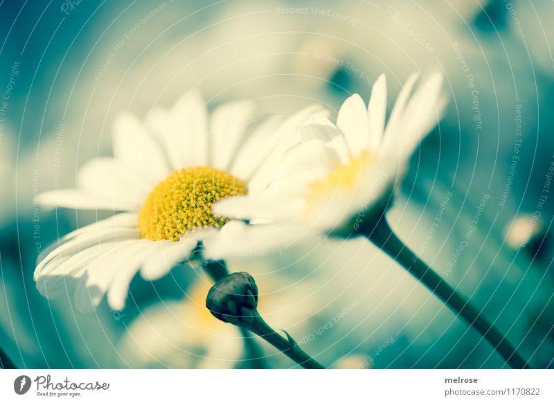 """gemeinsam """"blau"""" elegant Stil Design Pflanze Frühling Schönes Wetter Blume Blüte Blütenstiel Margerite Margeritenstock Blütenknospen Blütenpflanze Garten"""