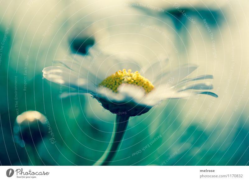Blue Monday elegant Stil Design Geburtstag Pflanze Sonnenlicht Frühling Schönes Wetter Blume Blüte Margeritenstock Blütenstempel Blütenstiel Blütenknospen