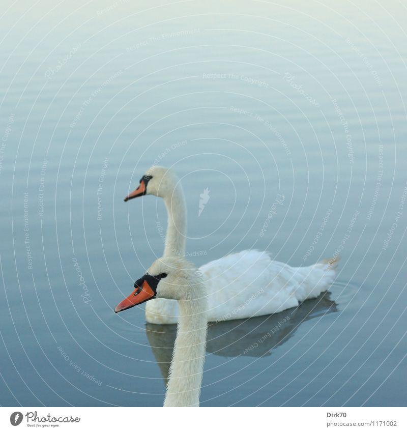 Schwanendoppel Wasser Sommer Schönes Wetter Wellen Teich See Tier Wildtier Vogel Höckerschwan 2 Tierpaar Schwimmen & Baden Erholung Zusammensein schön blau rosa