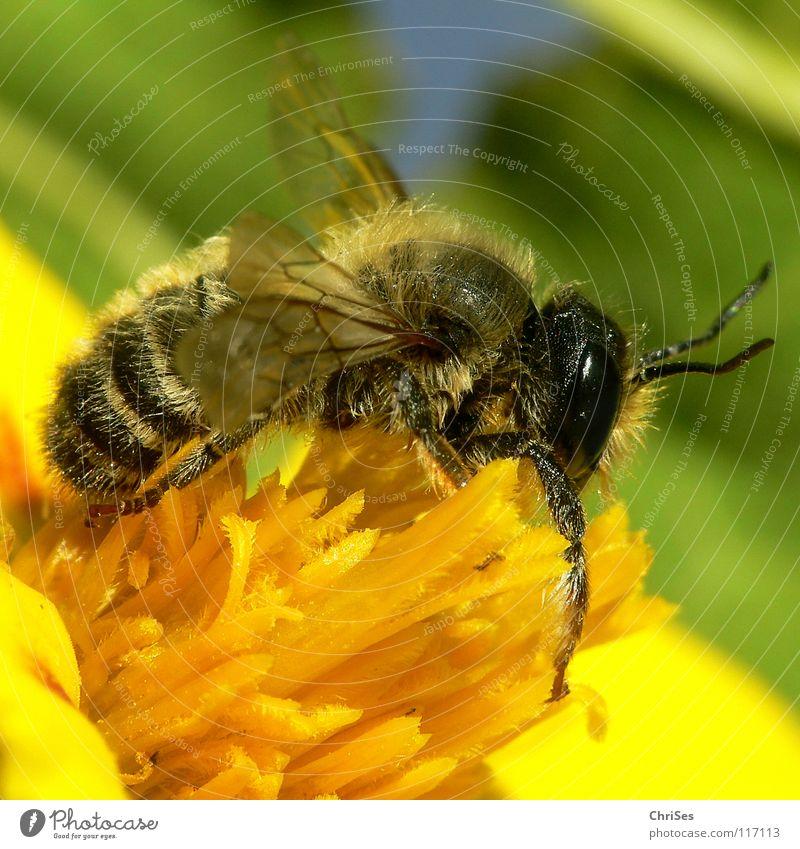 Erdbiene ( Andrena florea ) 04 grün Sommer schwarz Auge Ernährung Tier gelb Frühling Insekt Biene Sammlung Fühler gestreift Honig fleißig Wespen