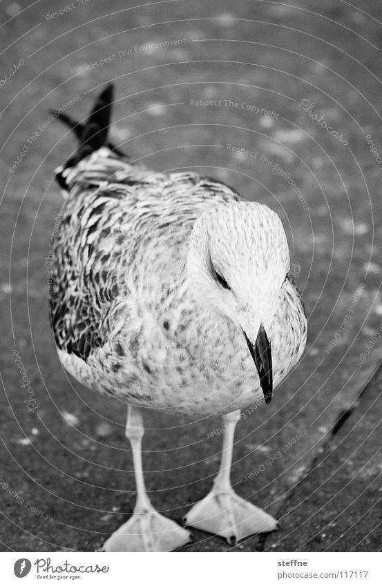 Möwe III: Die Beutefixierung weiß Sommer schwarz Einsamkeit Traurigkeit Luft Fuß Vogel Luftverkehr gefährlich Flügel Bodenbelag Trauer niedlich Feder
