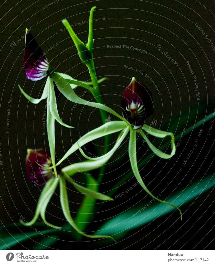 Fintentische grün schön Pflanze Blume Blüte außergewöhnlich Vergänglichkeit violett Blühend Urwald skurril exotisch seltsam Südamerika Orchidee filigran