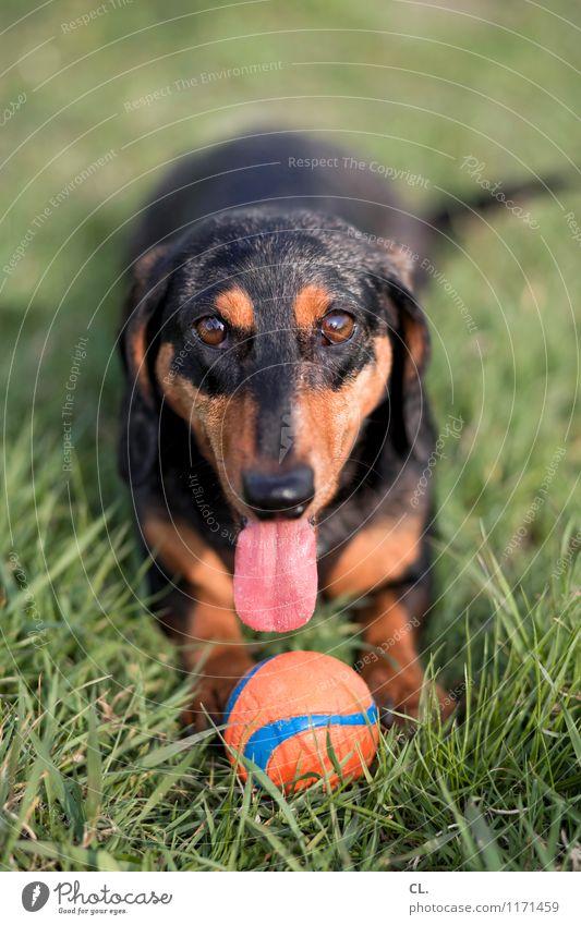 spieltrieb Freude Freizeit & Hobby Spielen Schönes Wetter Gras Wiese Tier Haustier Hund Tiergesicht Dackel Zunge 1 Ball Fröhlichkeit Gesundheit Glück