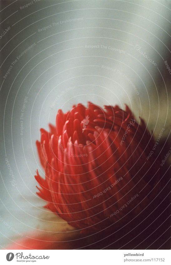 Die Kaktusblüte. Natur Blume Pflanze rot Freude Blüte Wüste Kakteenblüte