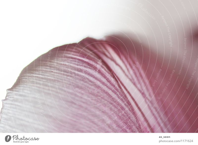 Im Wind ... Stil Wellness harmonisch Sinnesorgane Meditation Duft Spa Umwelt Natur Pflanze Frühling Sommer Herbst Tulpe Blüte Blühend Wachstum ästhetisch