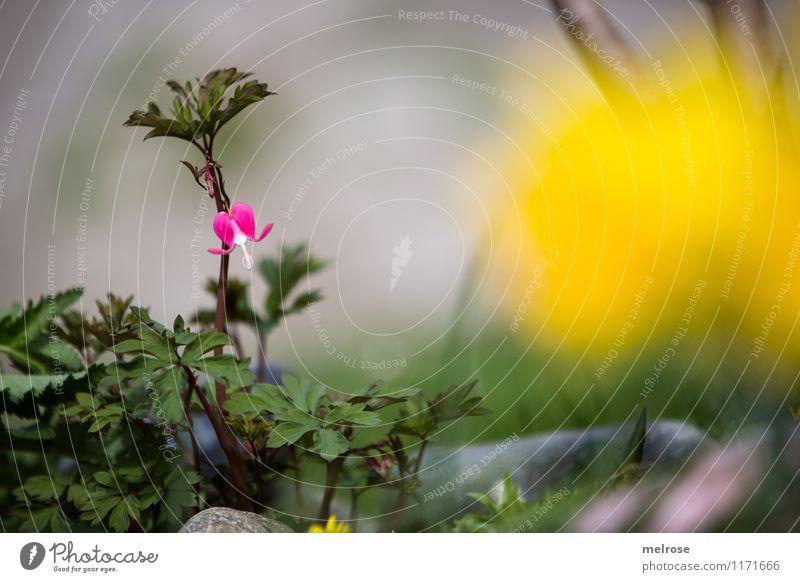 einsames HERZ elegant Stil Pflanze Erde Frühling Schönes Wetter Blume Gras Sträucher Blatt Blüte Wildpflanze Tränendes Herz Blütenpflanze Stein Blühend
