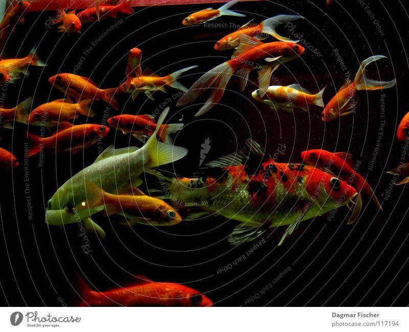 Fischstäbchen-Farm Makroaufnahme Unterwasseraufnahme Leben Angeln Meer tauchen Freundschaft Zoo Tier Wasser Teich See Aquarium Schwarm Zusammensein nass gelb