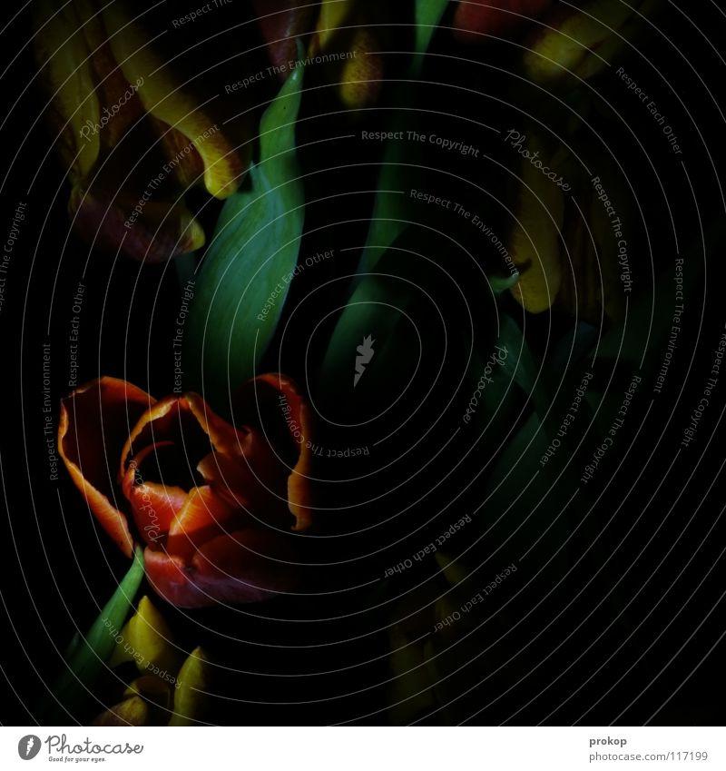 Nachtschatten II grün rot Pflanze Blume schwarz Farbe dunkel Blüte Trauer gruselig Blumenstrauß Tulpe Sorge Gotik poetisch Blumenhändler