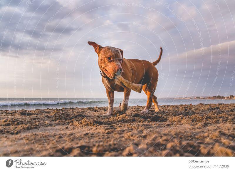 pitbull on the beach Hund Natur Ferien & Urlaub & Reisen Sommer Meer Wolken Freude Tier Strand Liebe Stil Spielen Glück Freiheit Horizont Freizeit & Hobby