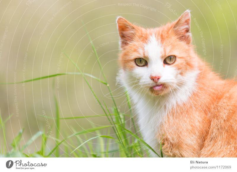 Guckst du! Natur Pflanze Frühling Sommer Gras Blatt Garten Wiese Tier Haustier Katze Tiergesicht Fell 1 Blick außergewöhnlich lustig verrückt gelb grün orange