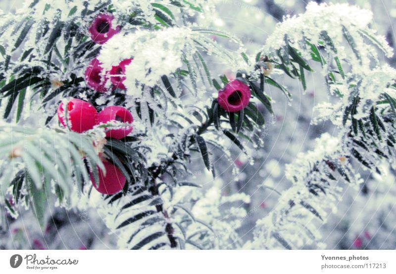 Neulich im Zauberwald Natur Weihnachten & Advent weiß rot Winter kalt Schnee Eis rosa Frost Spaziergang gefroren Tanne Beeren Gift Raureif