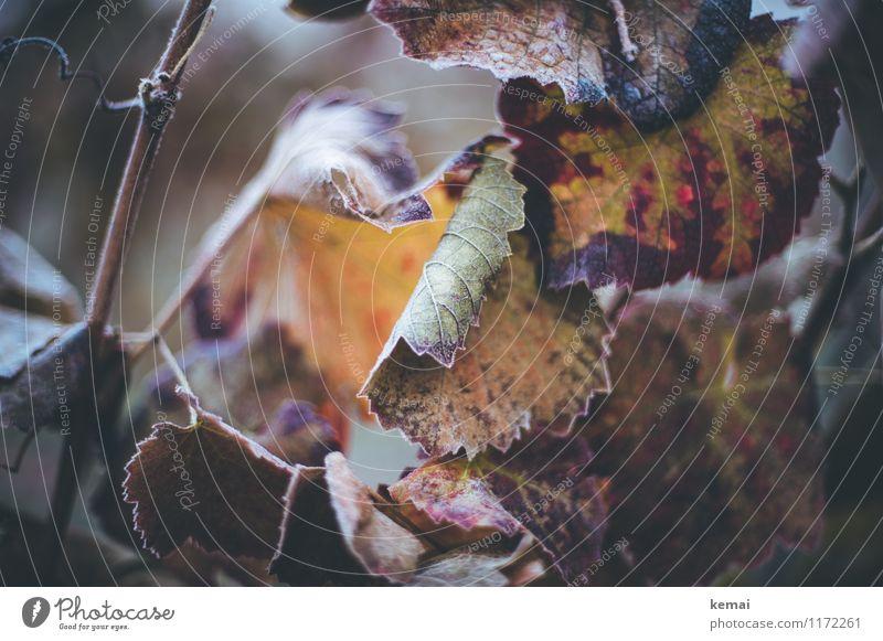 Blühe? Umwelt Pflanze Sonnenlicht Herbst Eis Frost Blatt Grünpflanze Weinblatt Wachstum kalt gefroren Raureif gekrümmt gezackt Blattadern Farbfoto