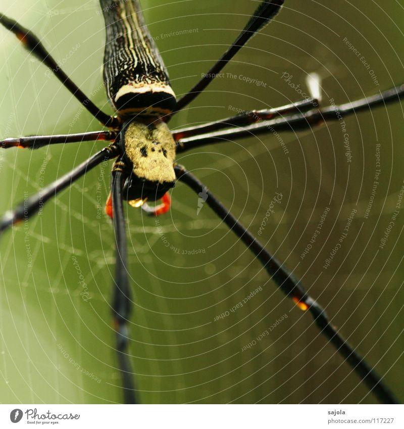 nephila pilipes Natur Tier Kopf Beine warten Netz Hinterteil Asien Urwald Spinne Schicksal Spinnennetz Singapore Spinnenbeine