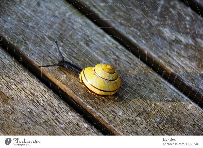 Schnecklige Schnucklige Tier Schnecke 1 alt krabbeln sportlich Langeweile Holzbrett gelb Schleim Fühler langsam Haus Stadt Essen Farbfoto Außenaufnahme