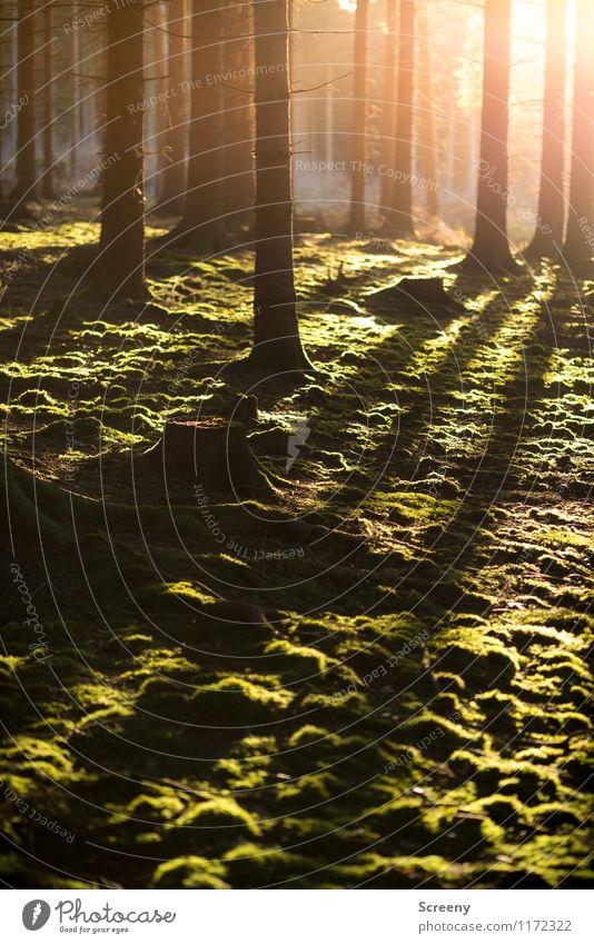 Wärme Umwelt Natur Landschaft Pflanze Sonne Sonnenaufgang Sonnenuntergang Frühling Sommer Schönes Wetter Baum Moos Wald leuchten Wachstum frisch natürlich