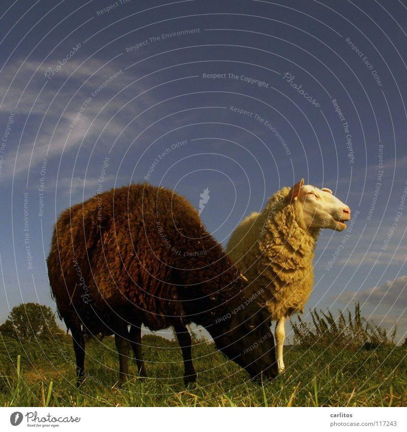 Das schwarze Schaf der Familie Tierpaar paarweise außergewöhnlich Weide Fressen Gegenteil Blauer Himmel Viehzucht Außenseiter Viehhaltung Schwarzes Schaf