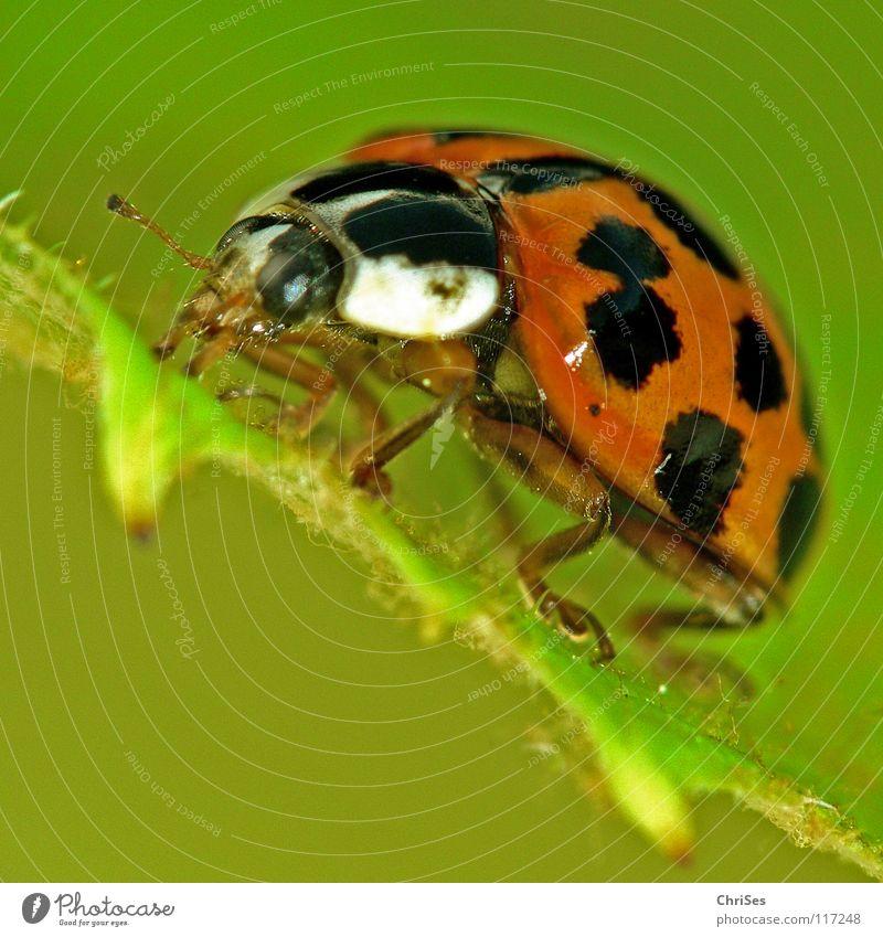 Asiatischer Marienkäfer_02 ( Harmonia axyridis ) Insekt weiß krabbeln grün rot schwarz Tier Käfer Frühling Sommer Makroaufnahme Nahaufnahme orange Punkt beetle