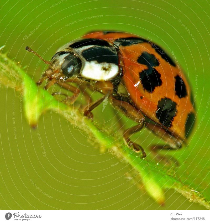 Asiatischer Marienkäfer_02 ( Harmonia axyridis ) weiß grün Sommer rot Tier schwarz Frühling orange Punkt Insekt Käfer krabbeln