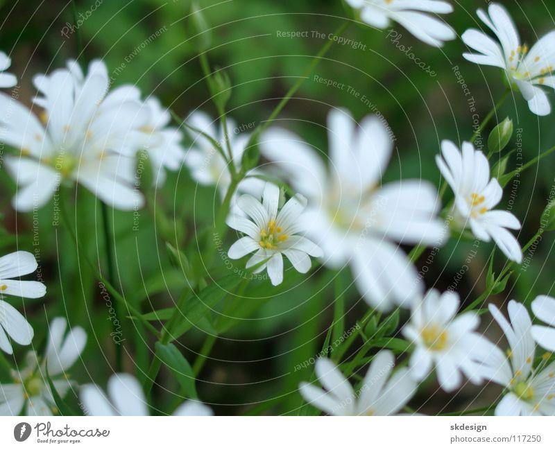 Frühlingsblüten Natur Blume Blüte Frühling frisch zart Sehnsucht unschuldig