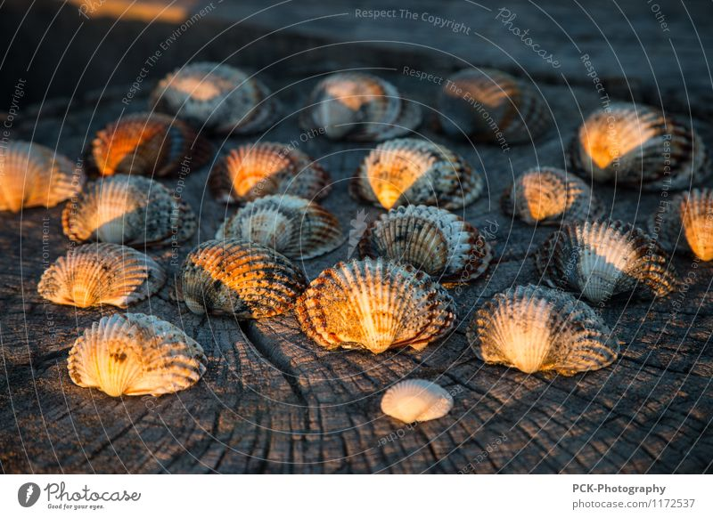 Abendmuscheln Frühling Sommer Herbst Wärme gelb gold orange Muschel Muschelschale Holzbrett Maserung Abendlicht Jakobsmuschel Stillleben Meeresfrüchte